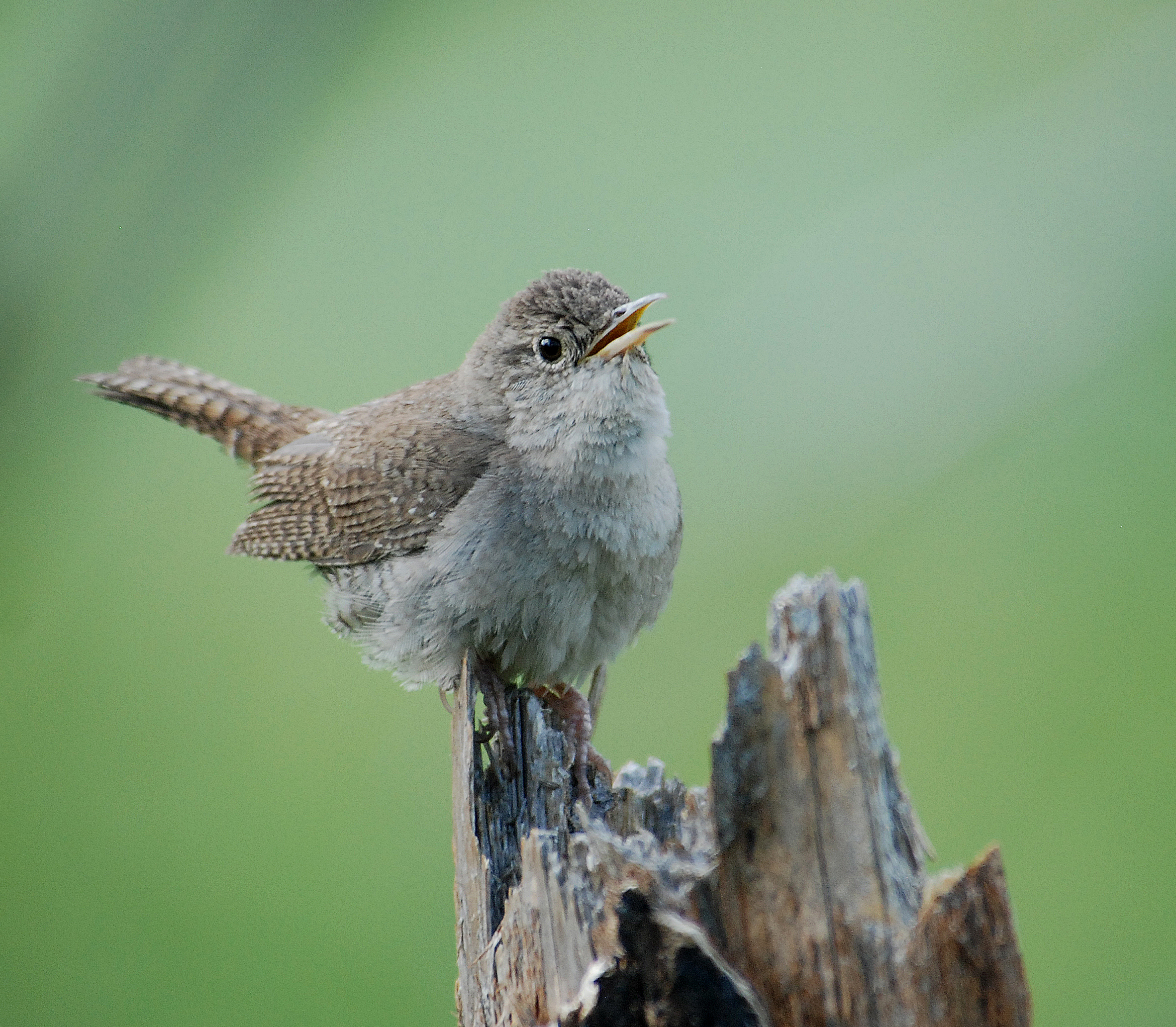 House Wren wallpaper