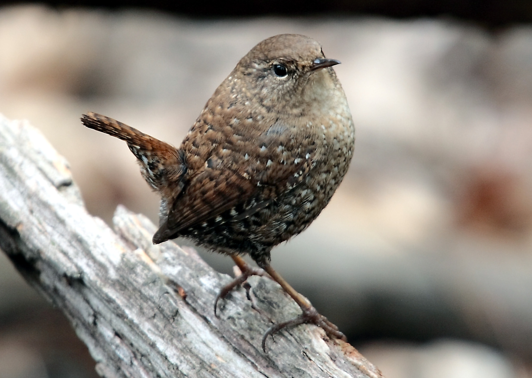 Winter Wren wallpaper