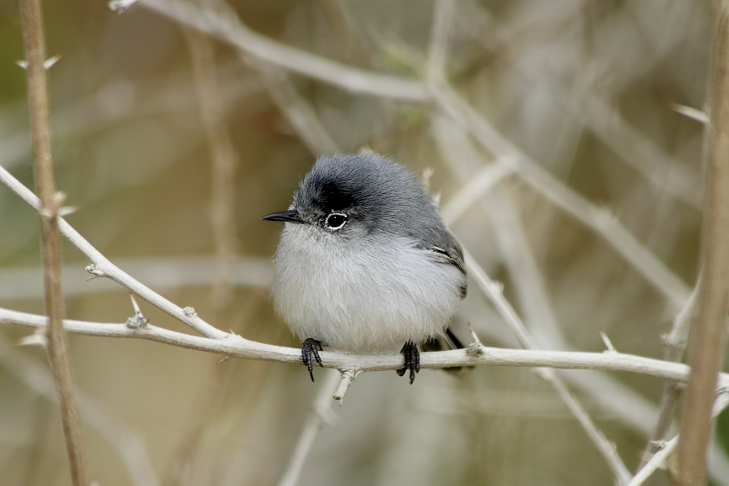 Blue-gray Gnatcatcher wallpaper
