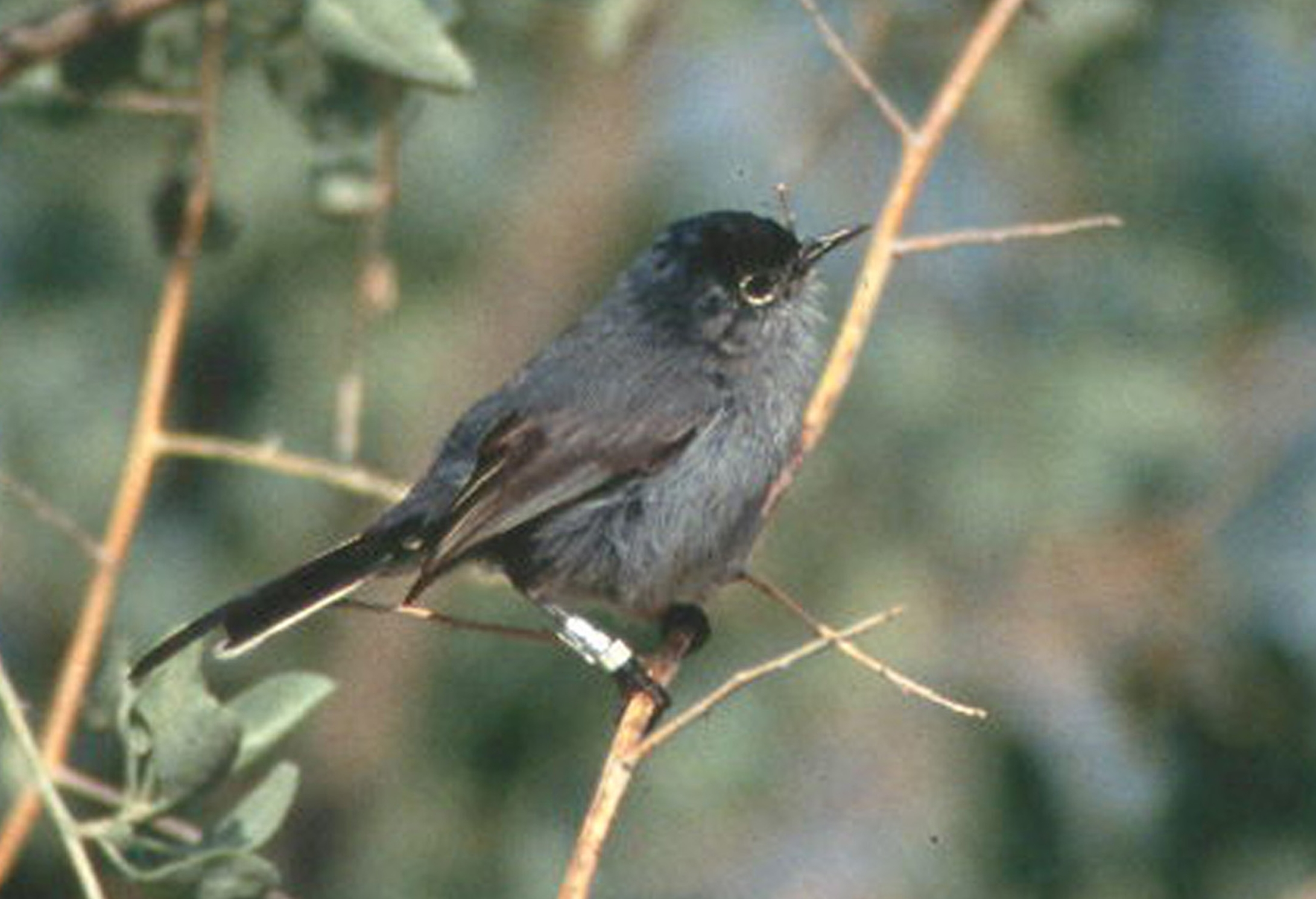 California Gnatcatcher wallpaper