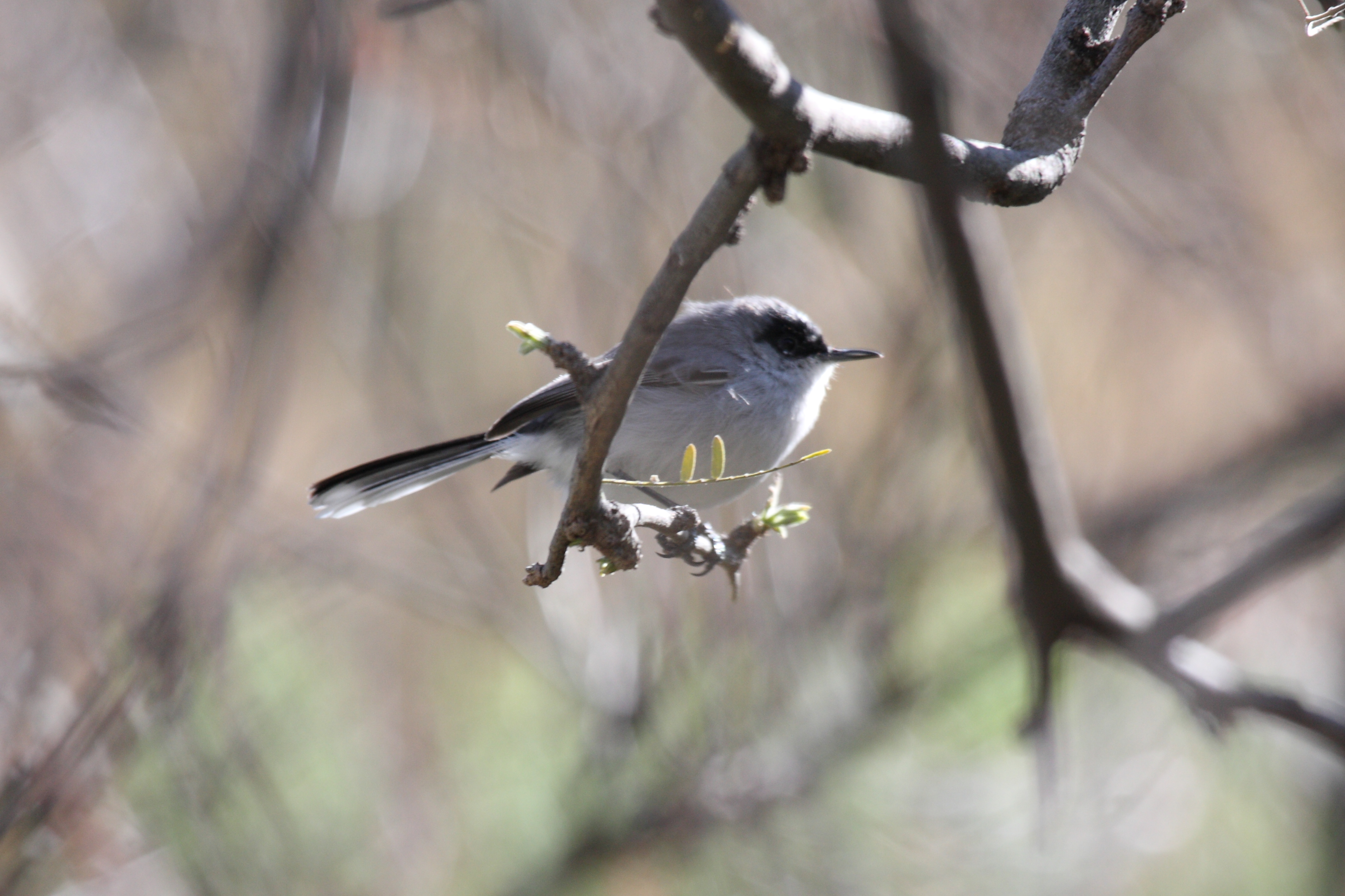 Black-capped Gnatcatcher wallpaper