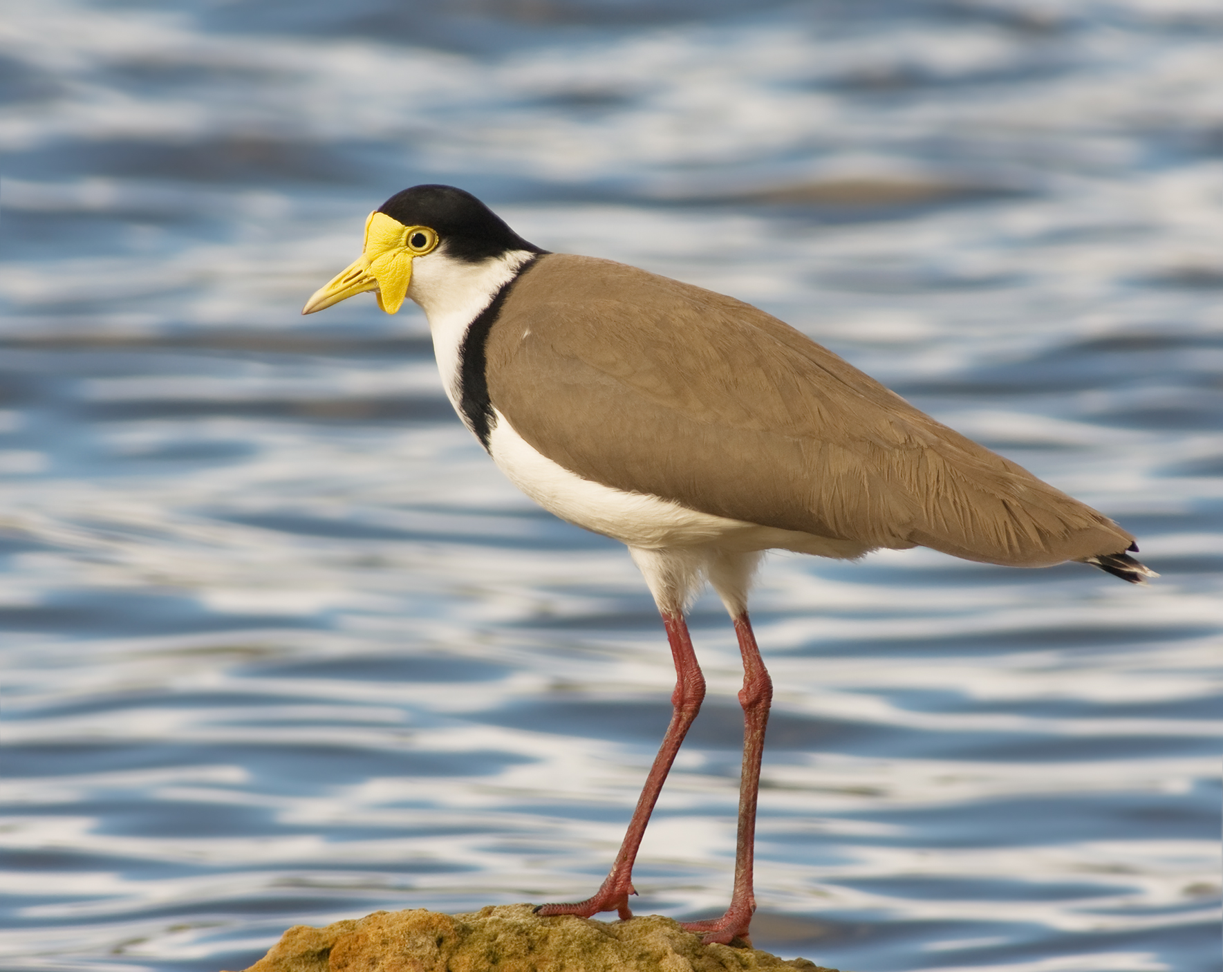 Masked Lapwing wallpaper
