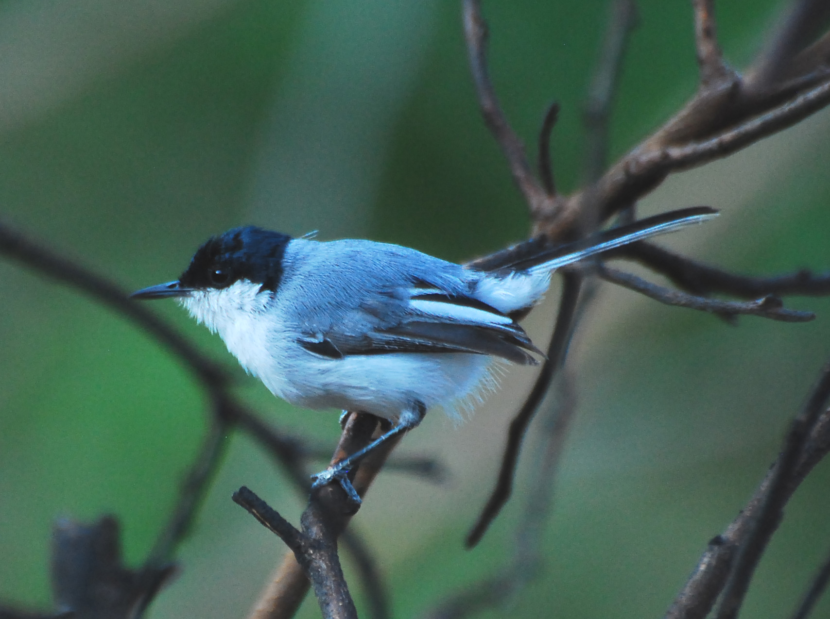 White-lored Gnatcatcher wallpaper