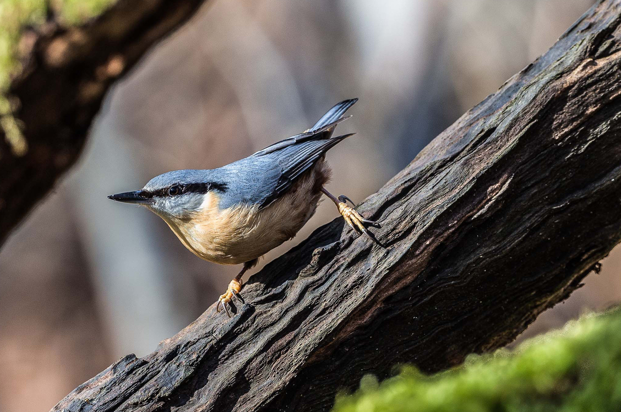 Eurasian Nuthatch wallpaper