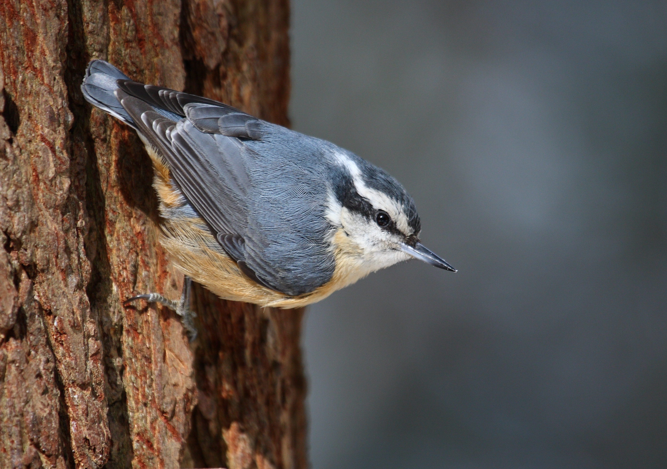 Red-breasted Nuthatch wallpaper