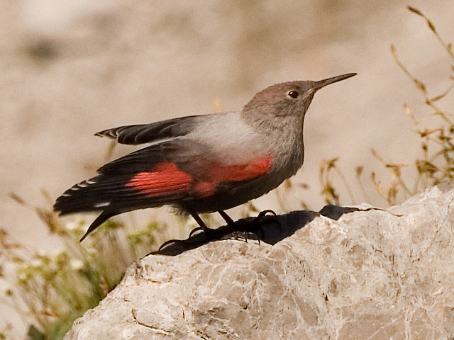 Wallcreeper wallpaper
