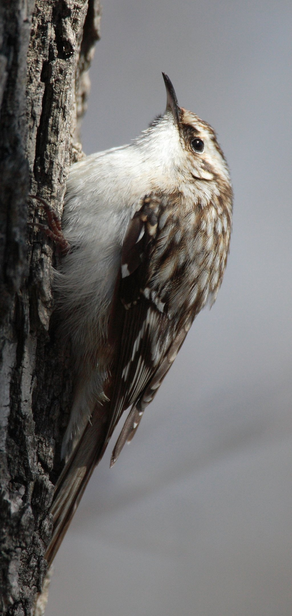 Brown Creeper wallpaper