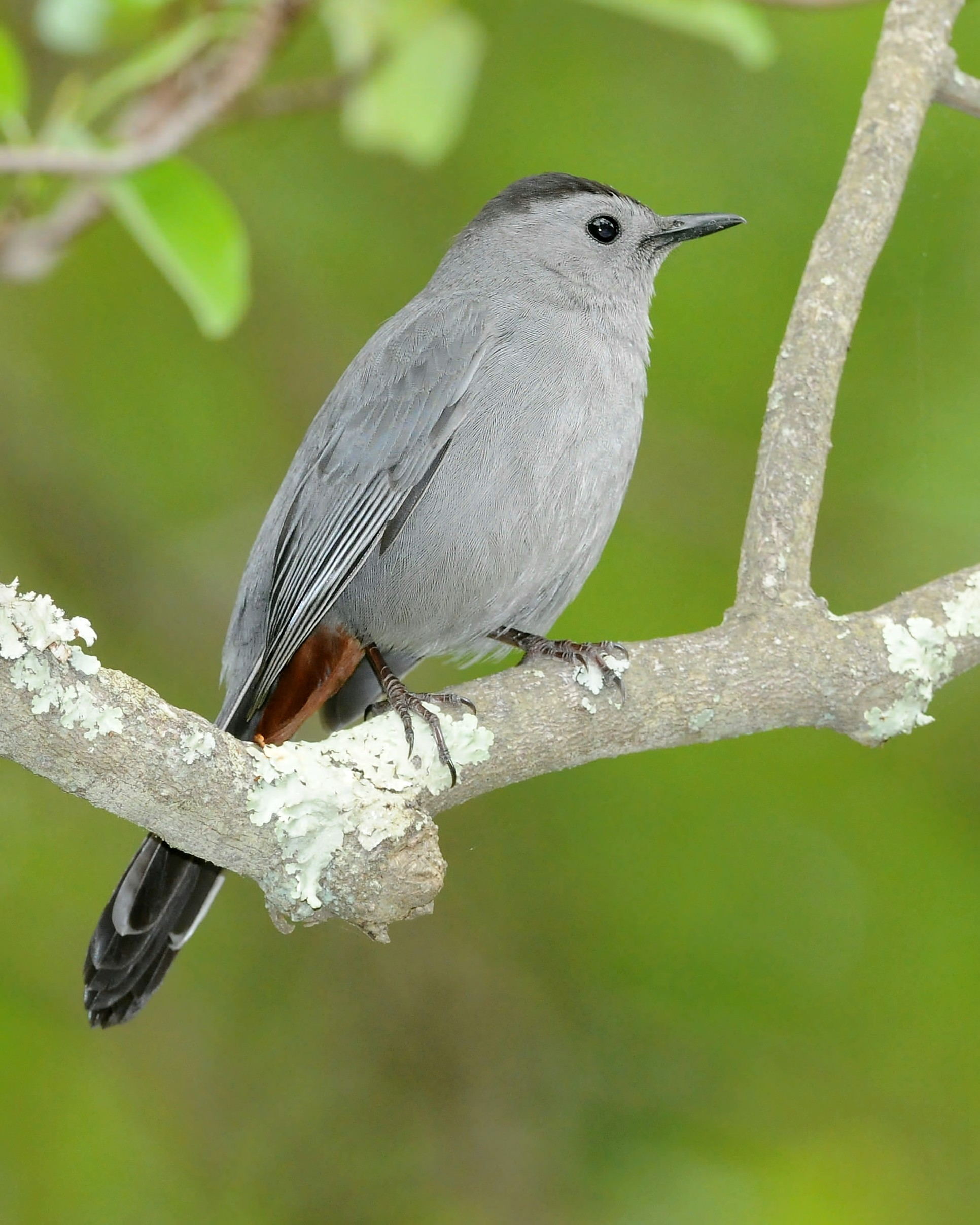 Gray Catbird wallpaper