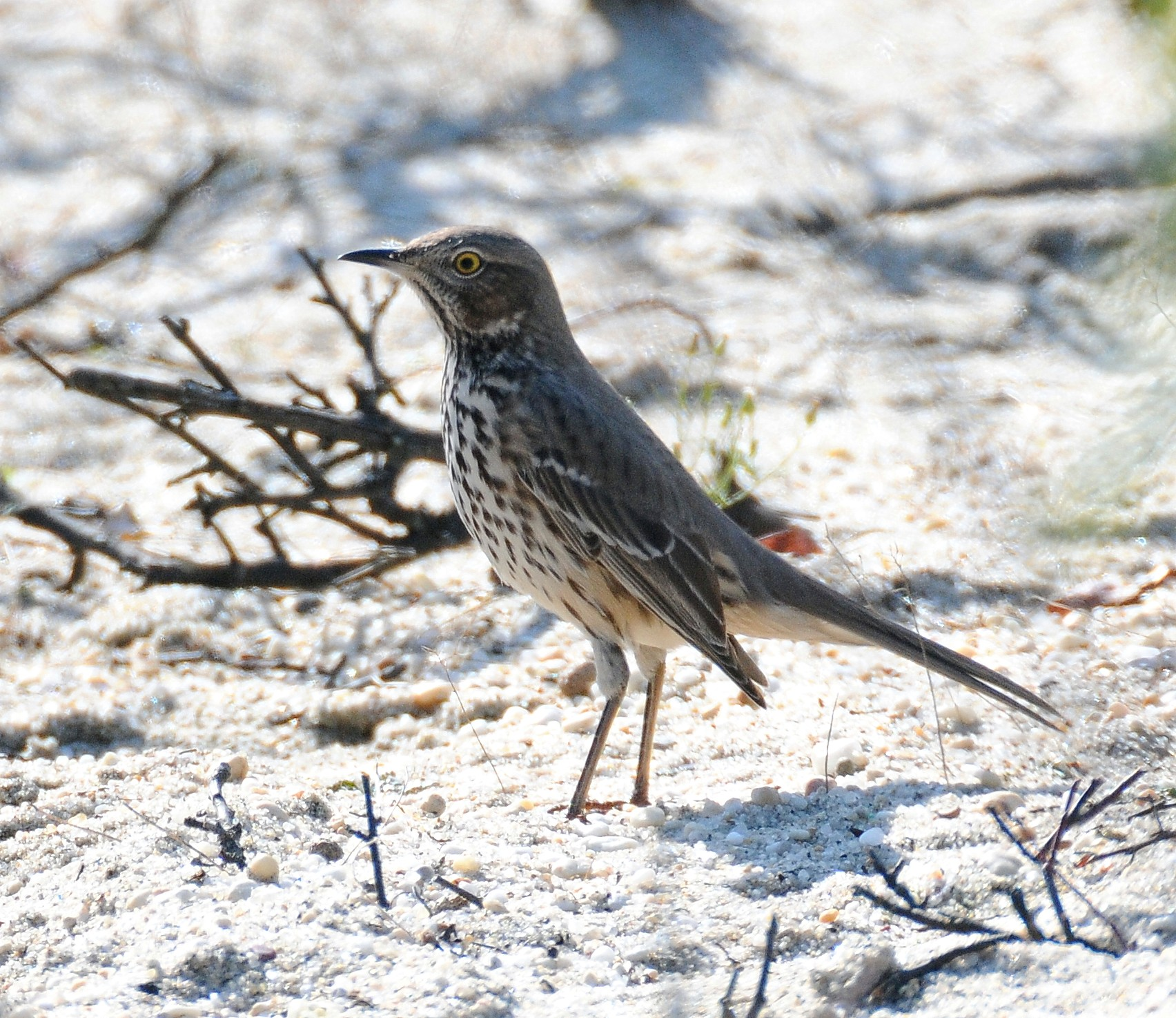 Sage Thrasher wallpaper
