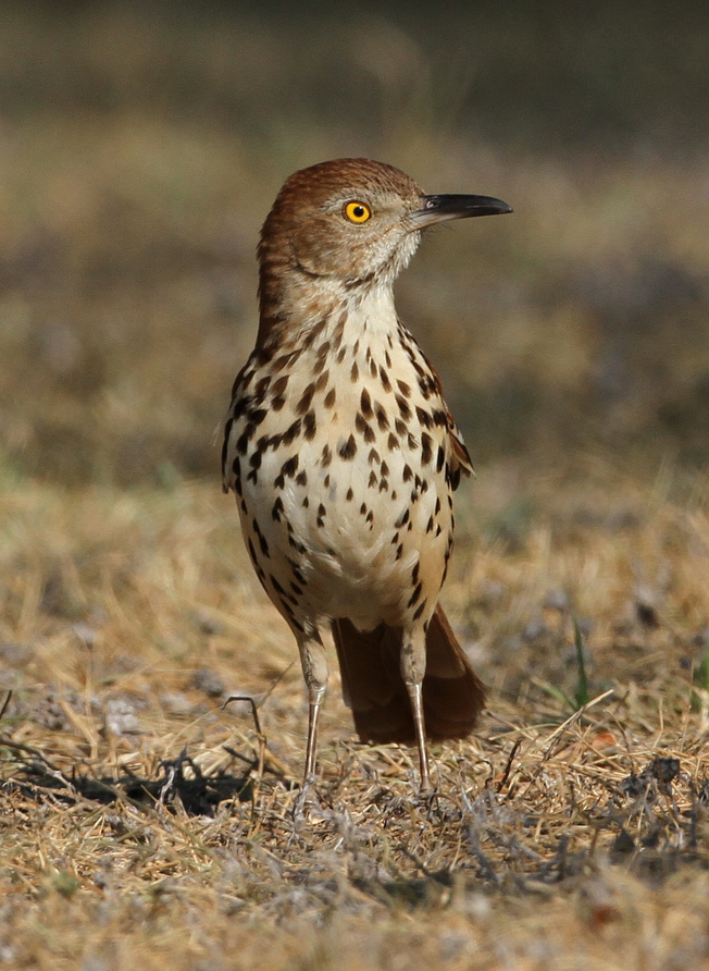 Brown Thrasher wallpaper