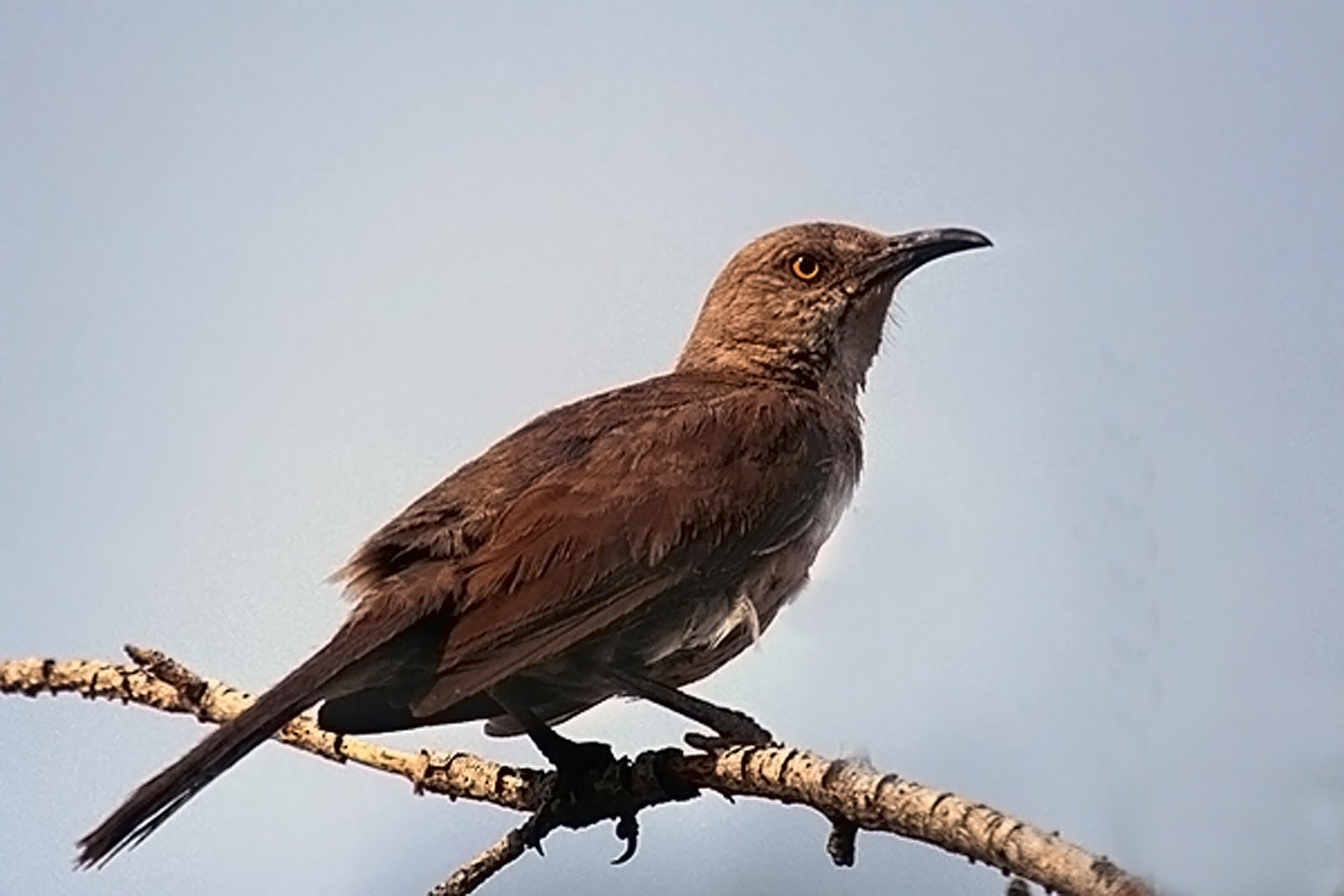 Curve-billed Thrasher wallpaper