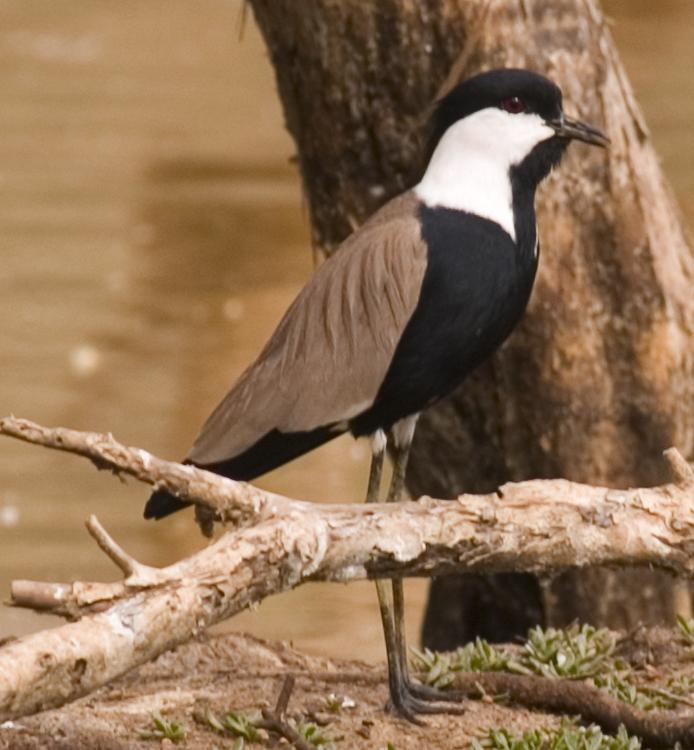 Spur-winged Lapwing wallpaper