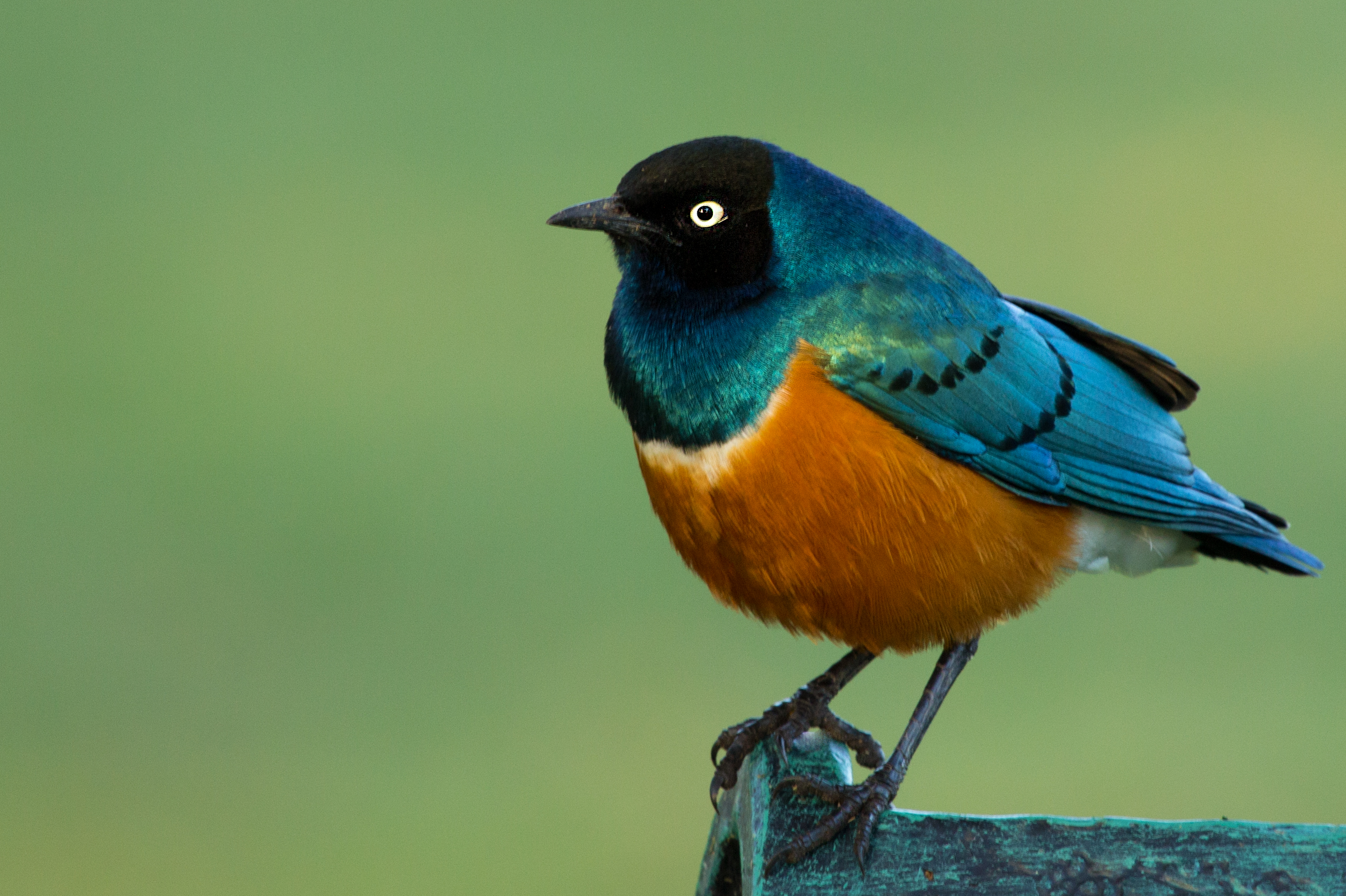 Superb Starling wallpaper