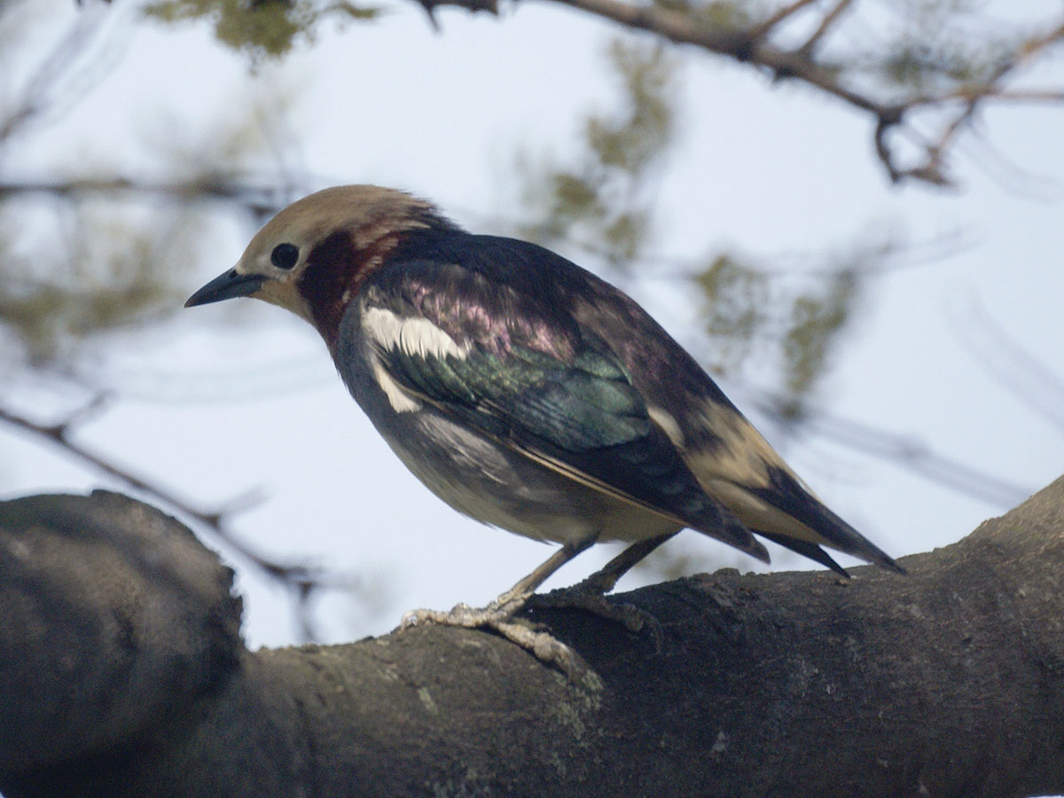 Chestnut-cheeked Starling wallpaper