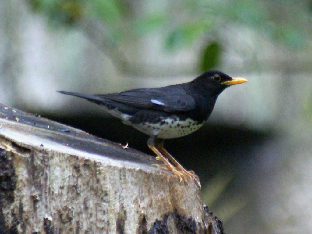 Japanese Thrush wallpaper
