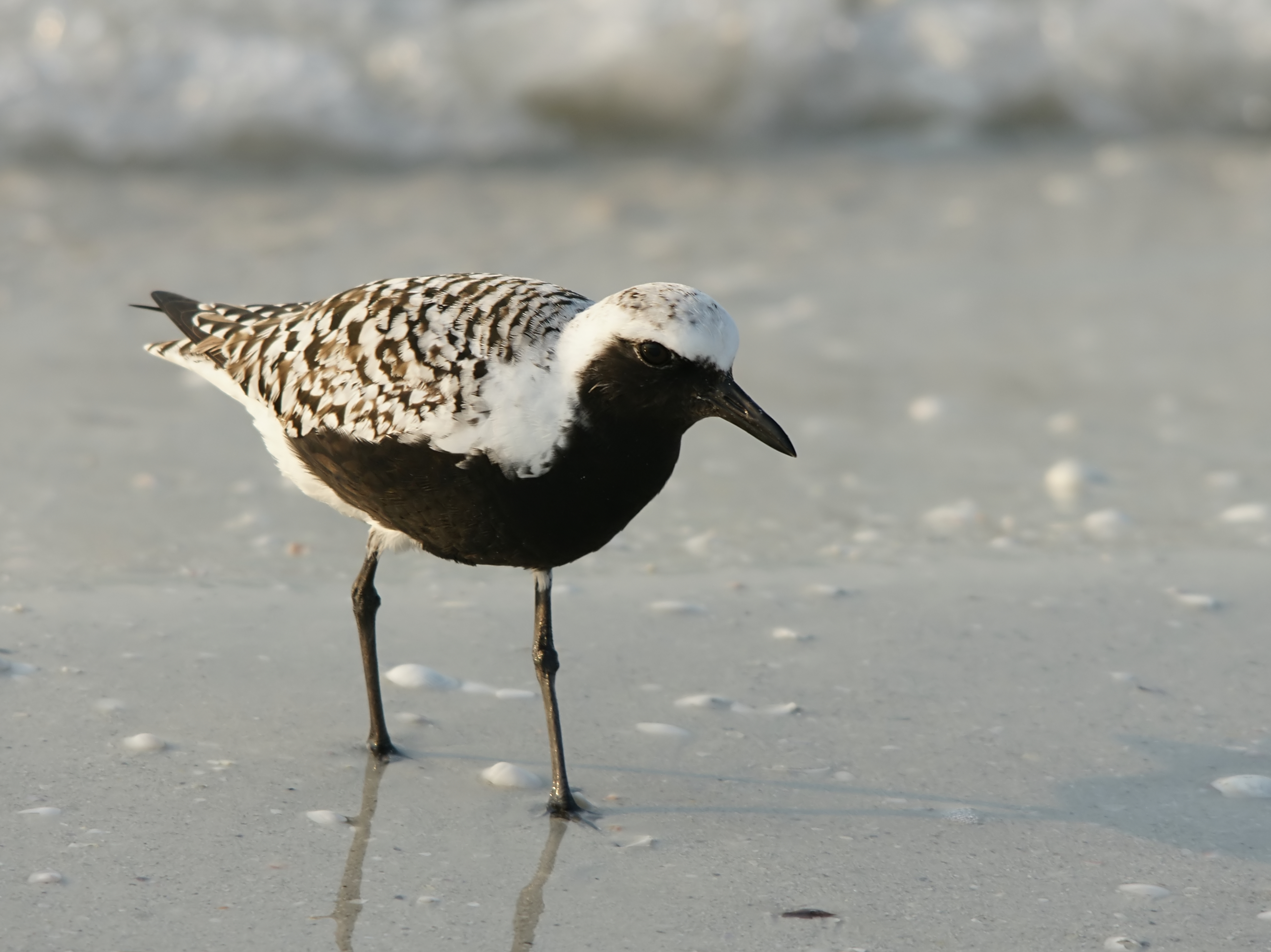 Grey Plover wallpaper