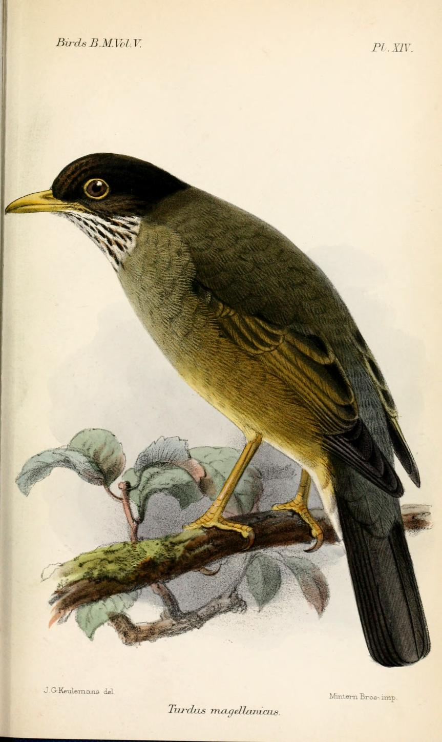 Austral Thrush wallpaper