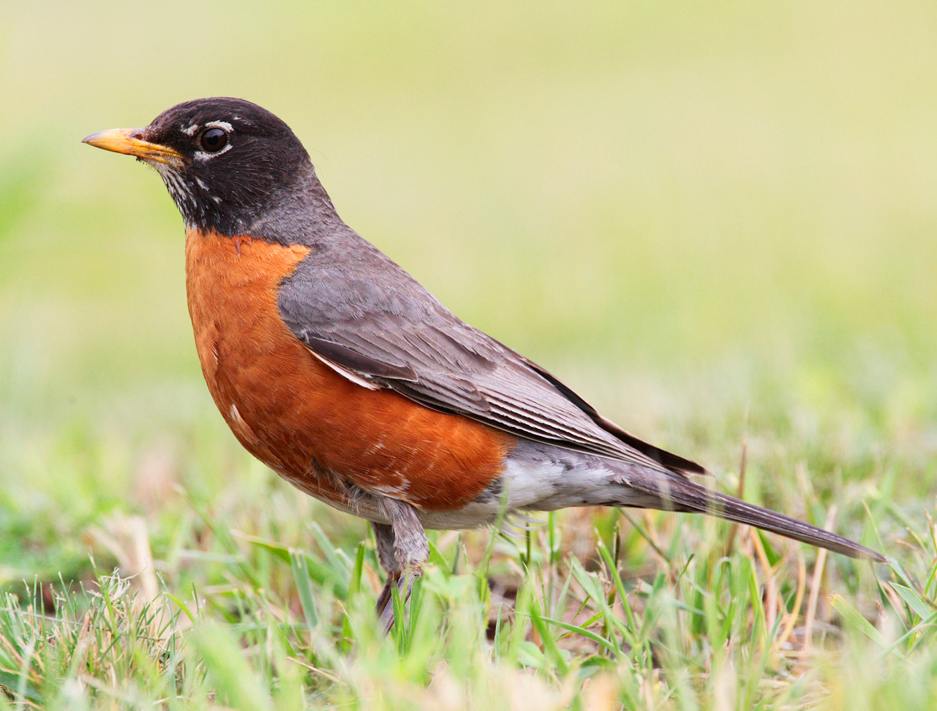 American Robin wallpaper