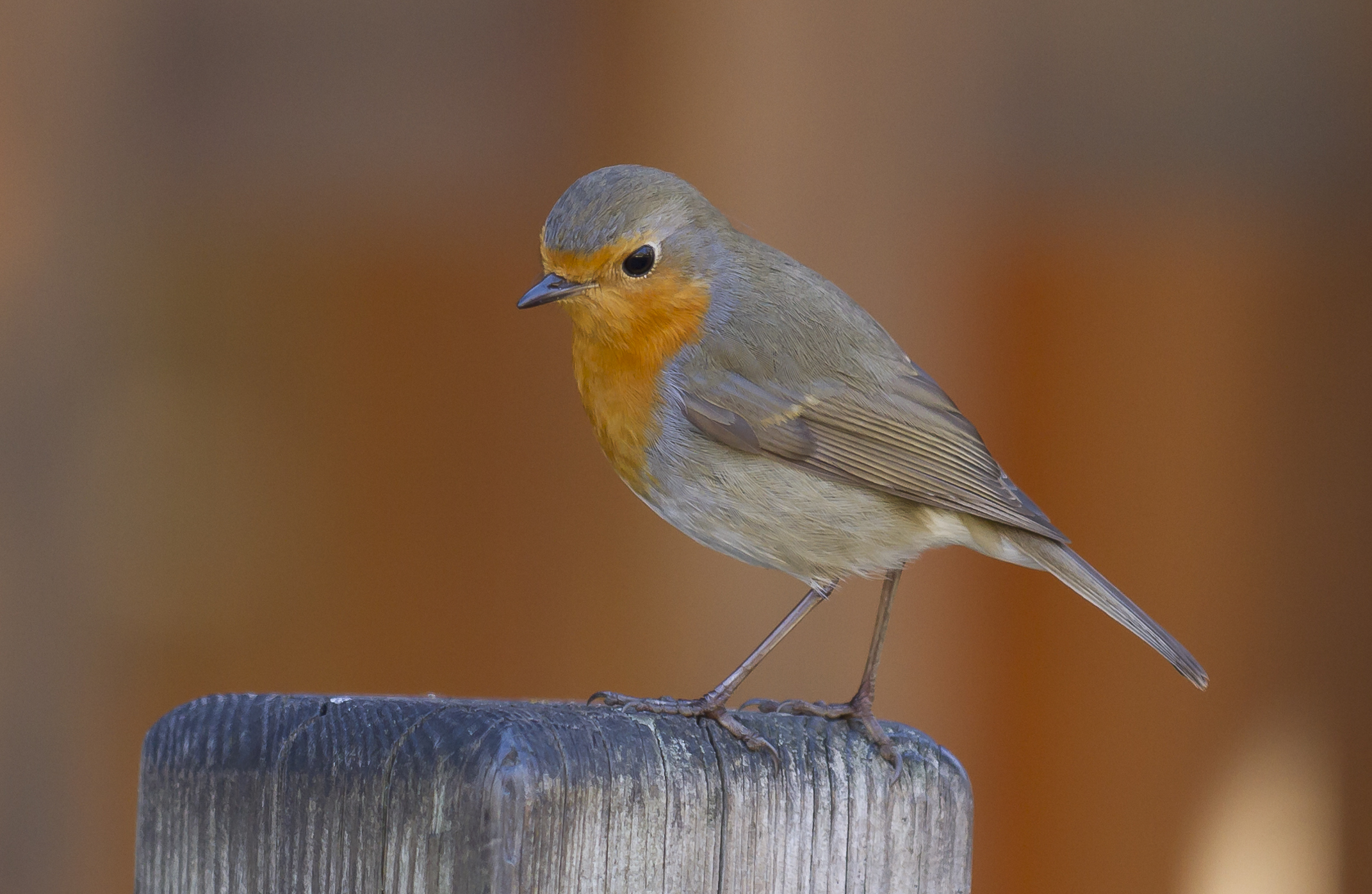 European Robin wallpaper