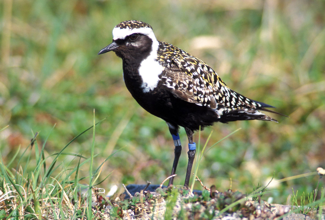 American Golden Plover wallpaper