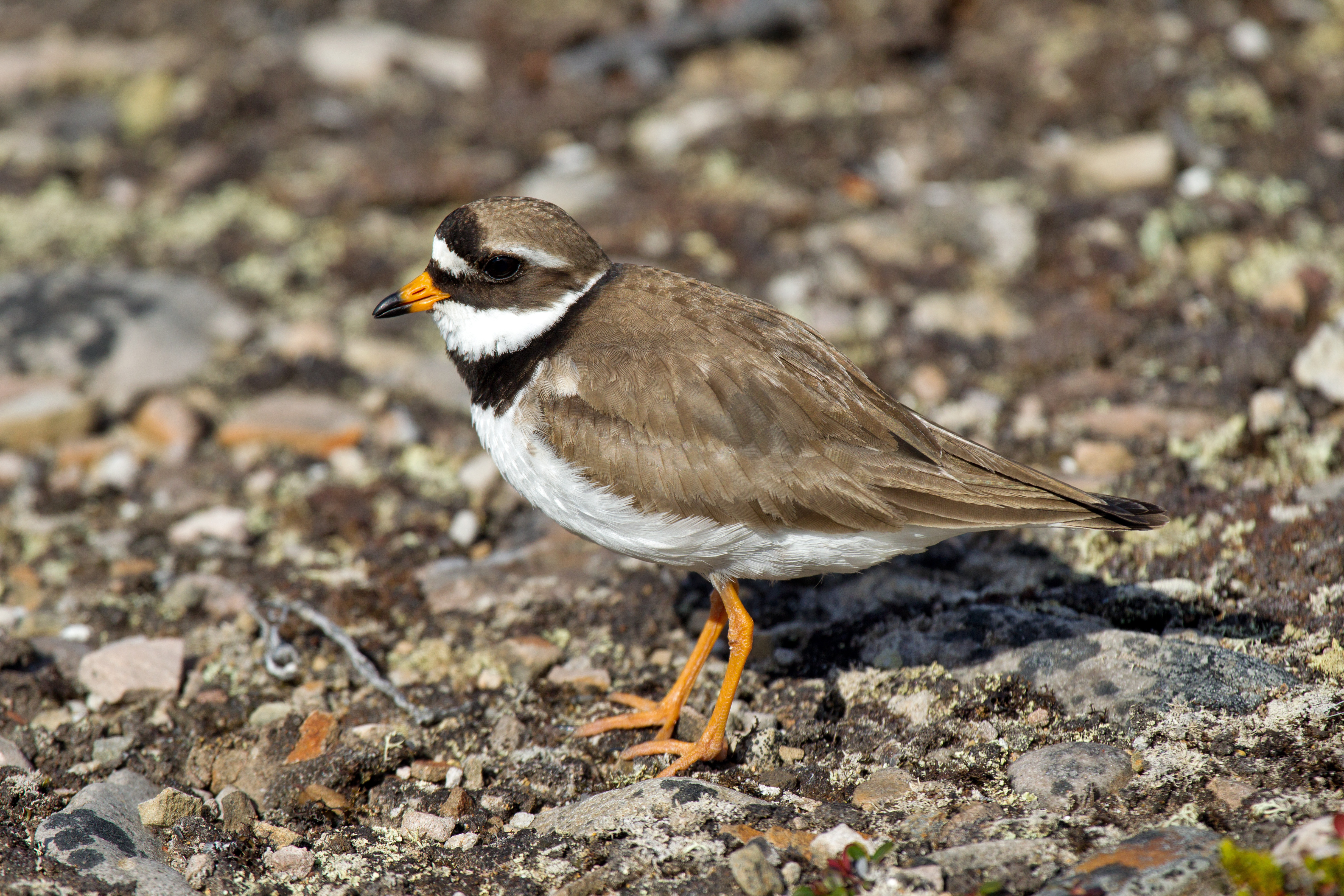 Ringed Plover wallpaper