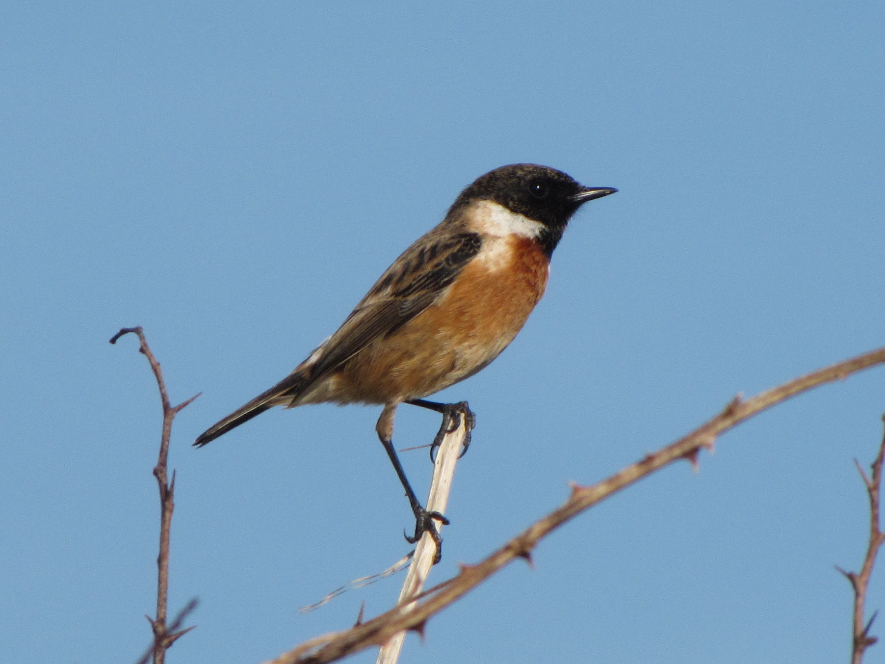 European Stonechat wallpaper