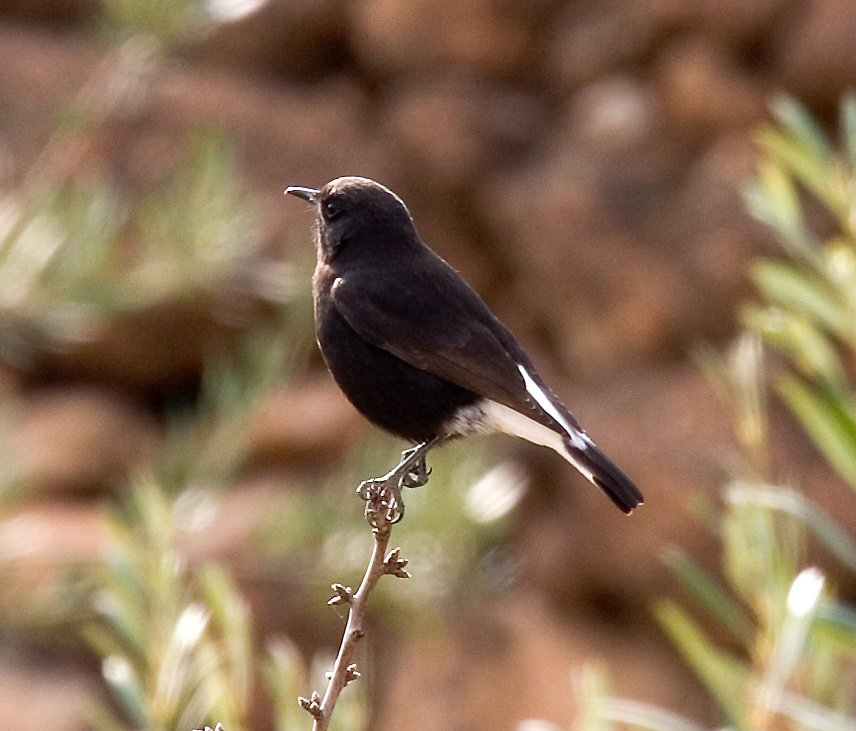Black Wheatear wallpaper