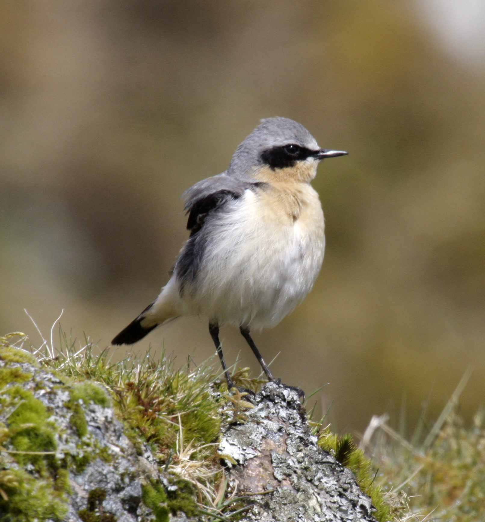 Northern Wheatear wallpaper