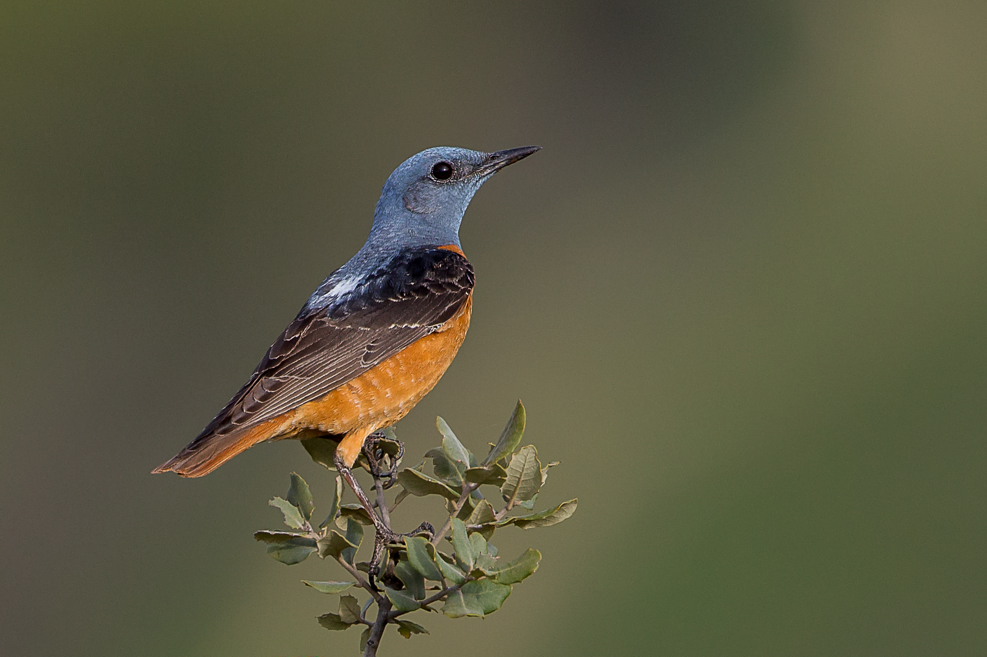 Common Rock Thrush wallpaper