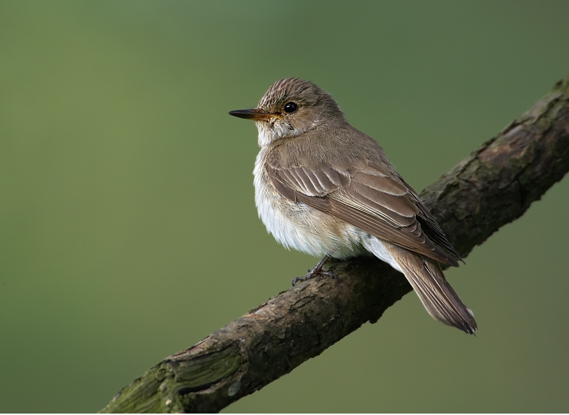 Spotted Flycatcher wallpaper