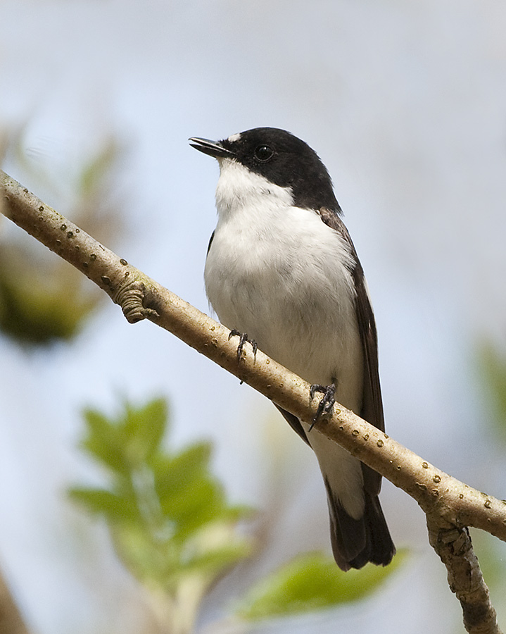 European Pied Flycatcher wallpaper