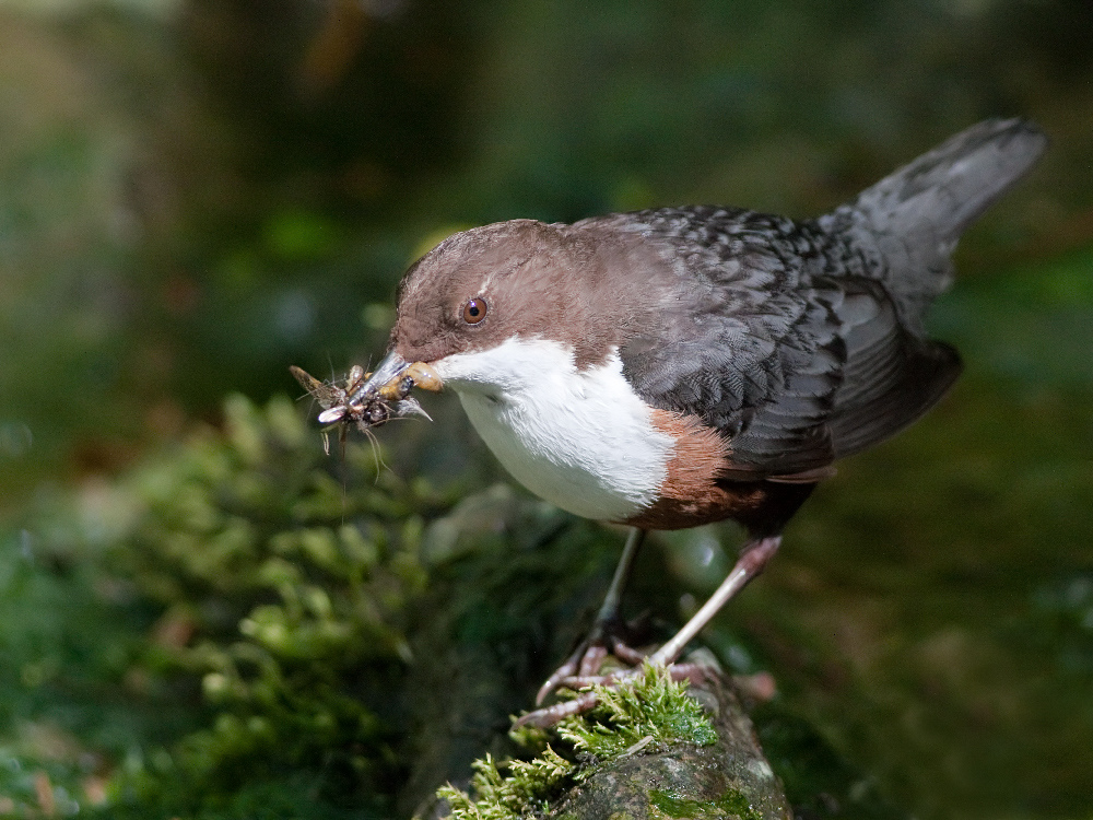 White-throated Dipper wallpaper