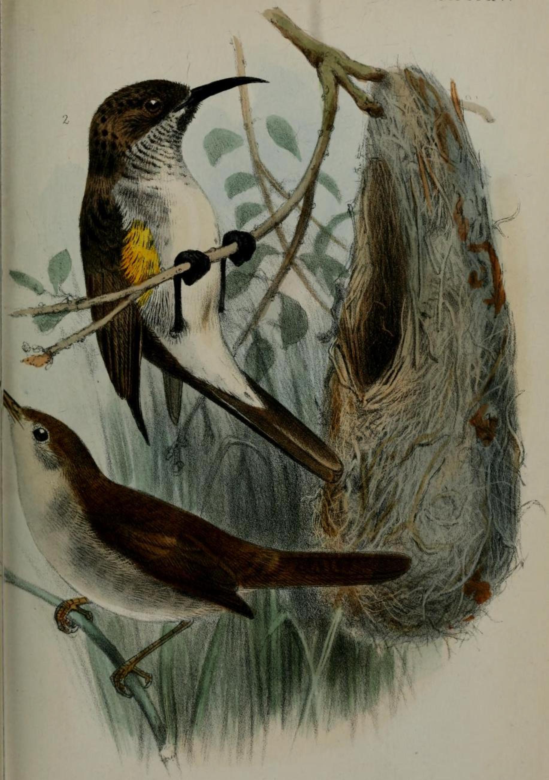 Socotra Sunbird wallpaper