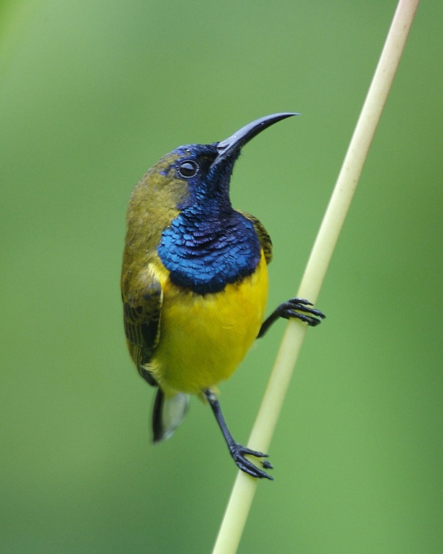 Olive-backed Sunbird wallpaper