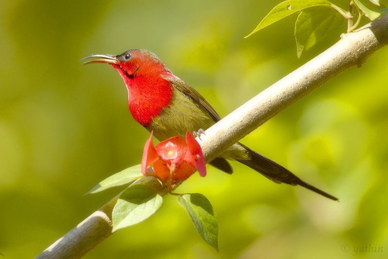 Crimson Sunbird wallpaper