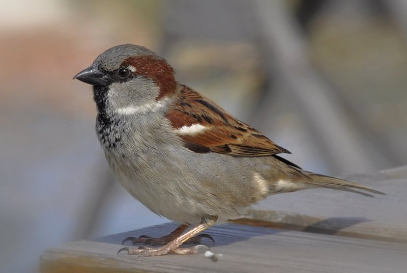 House Sparrow wallpaper