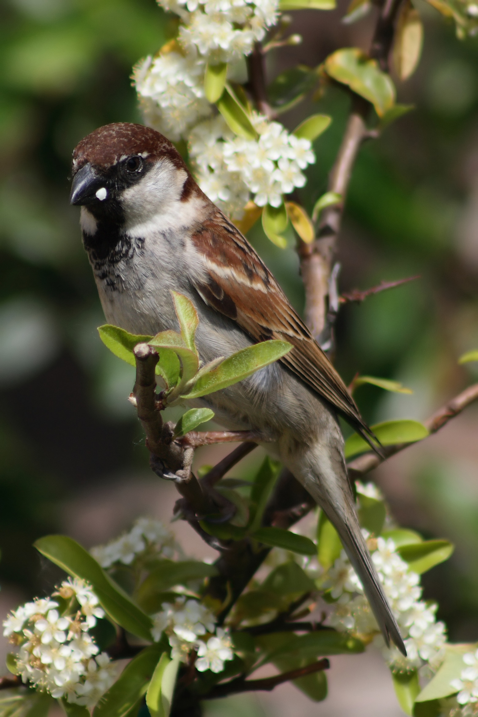 Italian Sparrow wallpaper