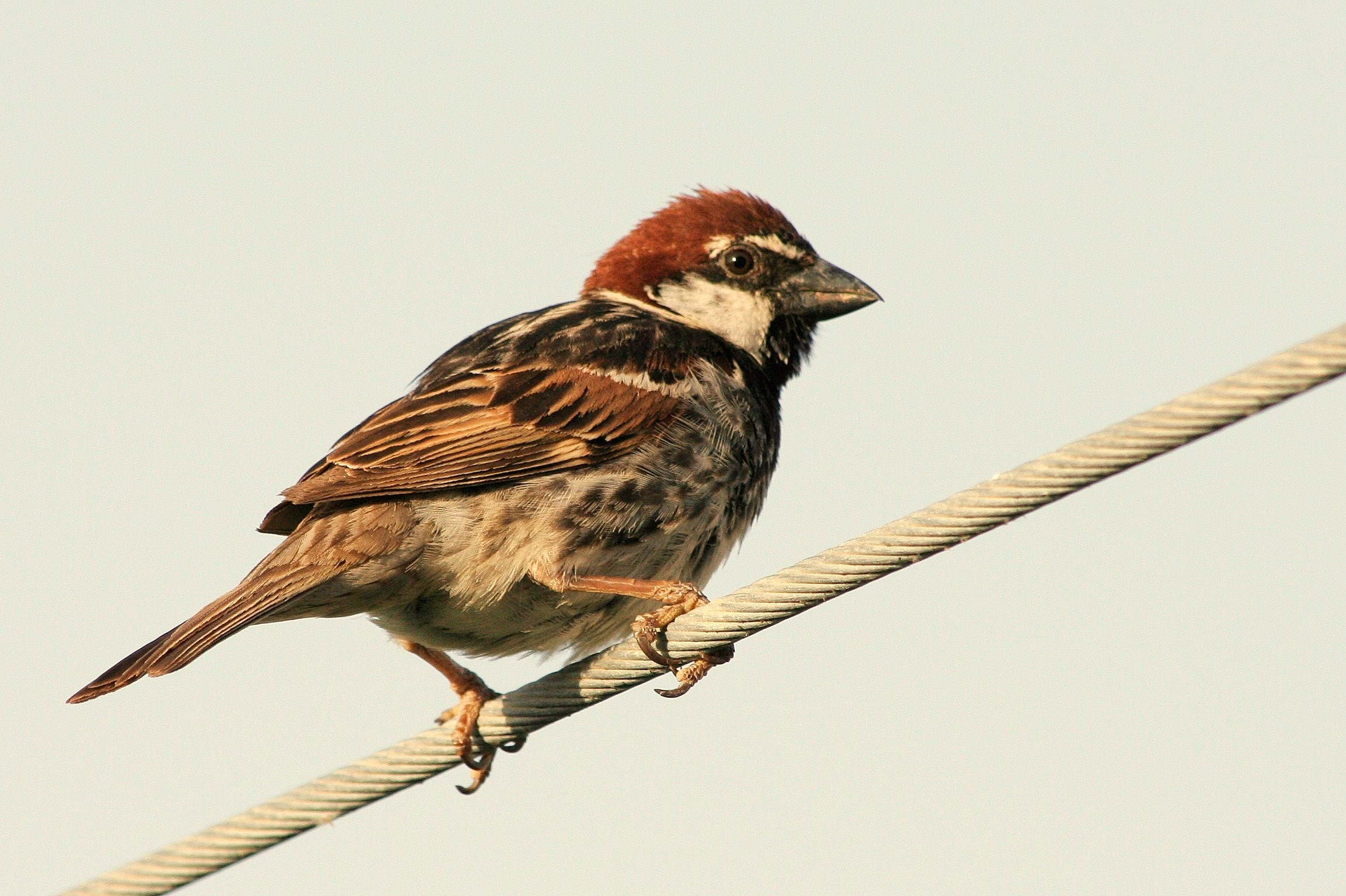 Spanish Sparrow wallpaper
