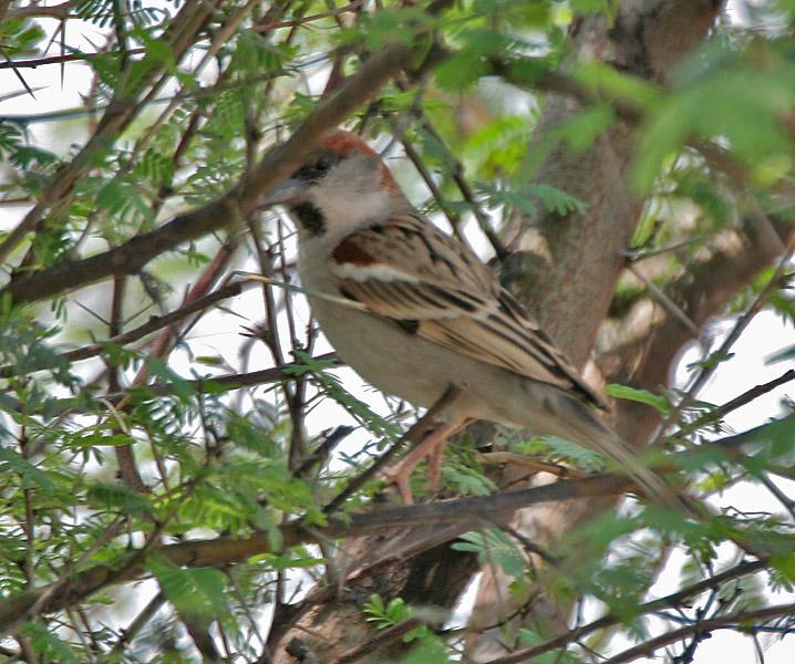 Sind Sparrow wallpaper