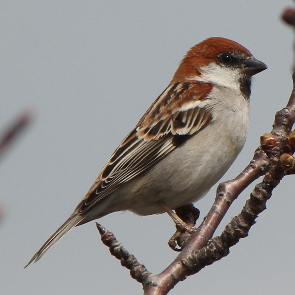 Russet Sparrow wallpaper