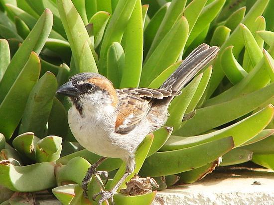 Iago Sparrow wallpaper