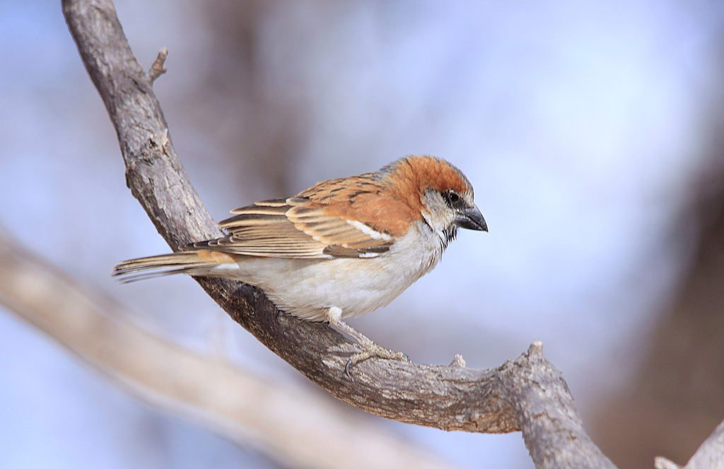 Great Sparrow wallpaper
