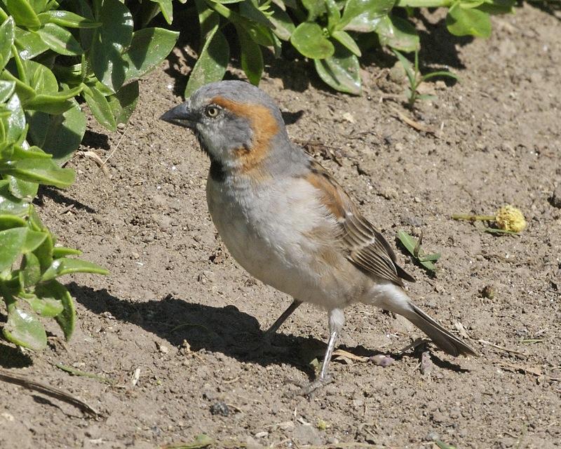 Kenya Sparrow wallpaper