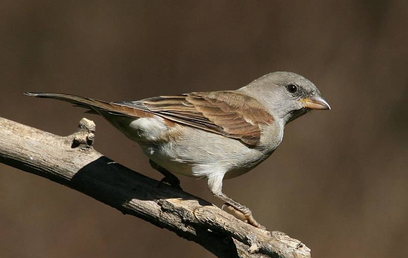 Southern Grey-headed Sparrow wallpaper