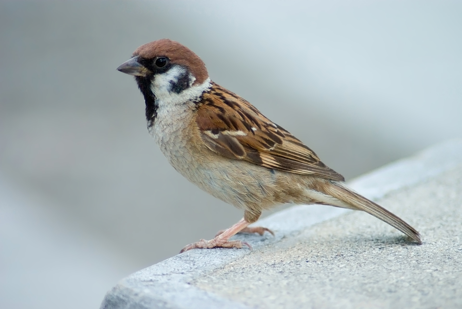 Eurasian Tree Sparrow wallpaper