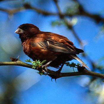 Chestnut Sparrow wallpaper