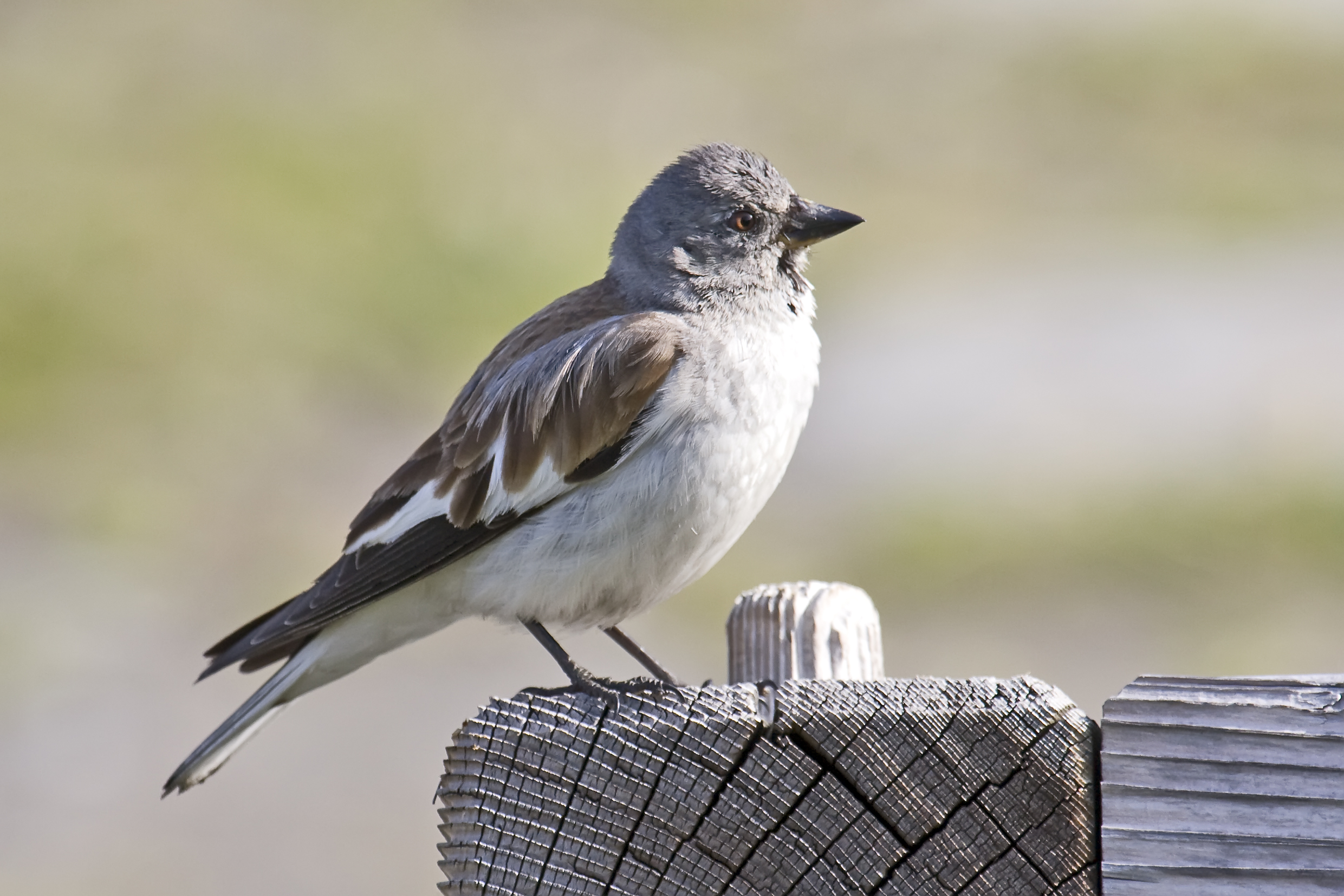 White-winged Snowfinch wallpaper