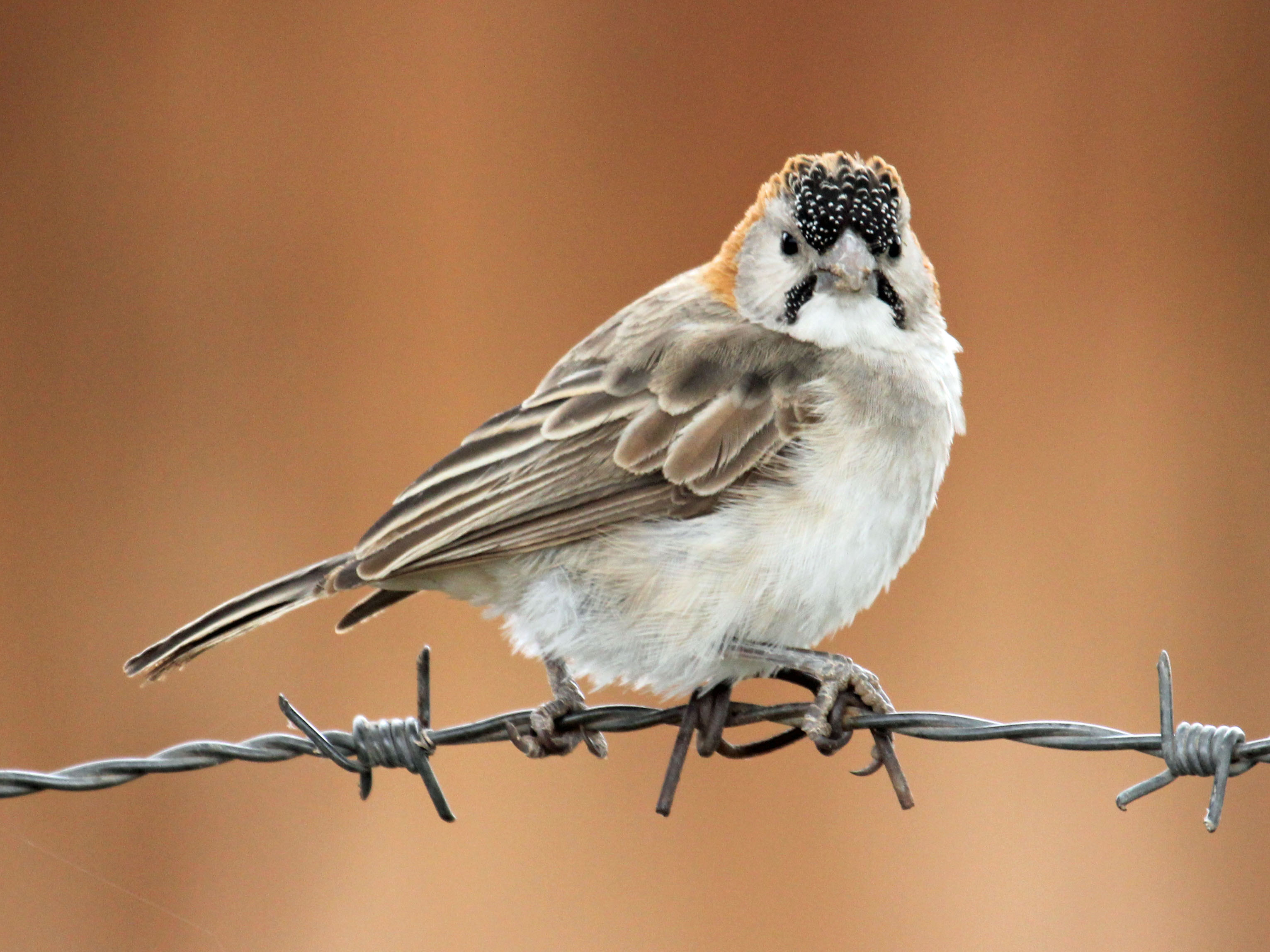 Speckle-fronted Weaver wallpaper
