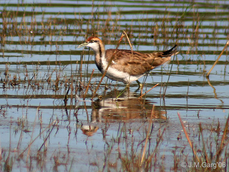 Pheasant-tailed Jacana wallpaper