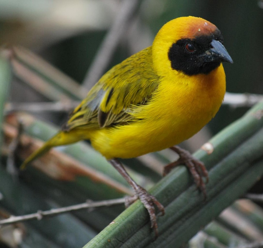 Southern Masked Weaver wallpaper